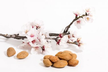 almond tree branch and almonds