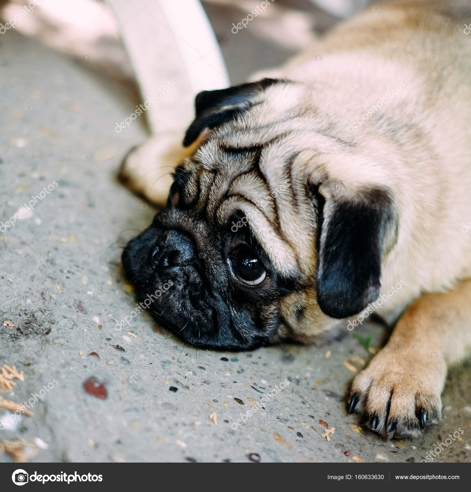 baby pug. dog pug. close up face of a very cute pug — stock photo