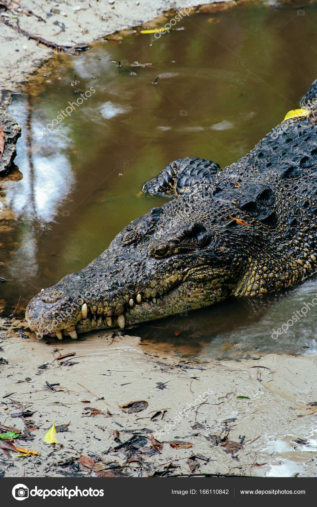 5df6ebebab4a Nile crocodile Crocodylus niloticus in the water