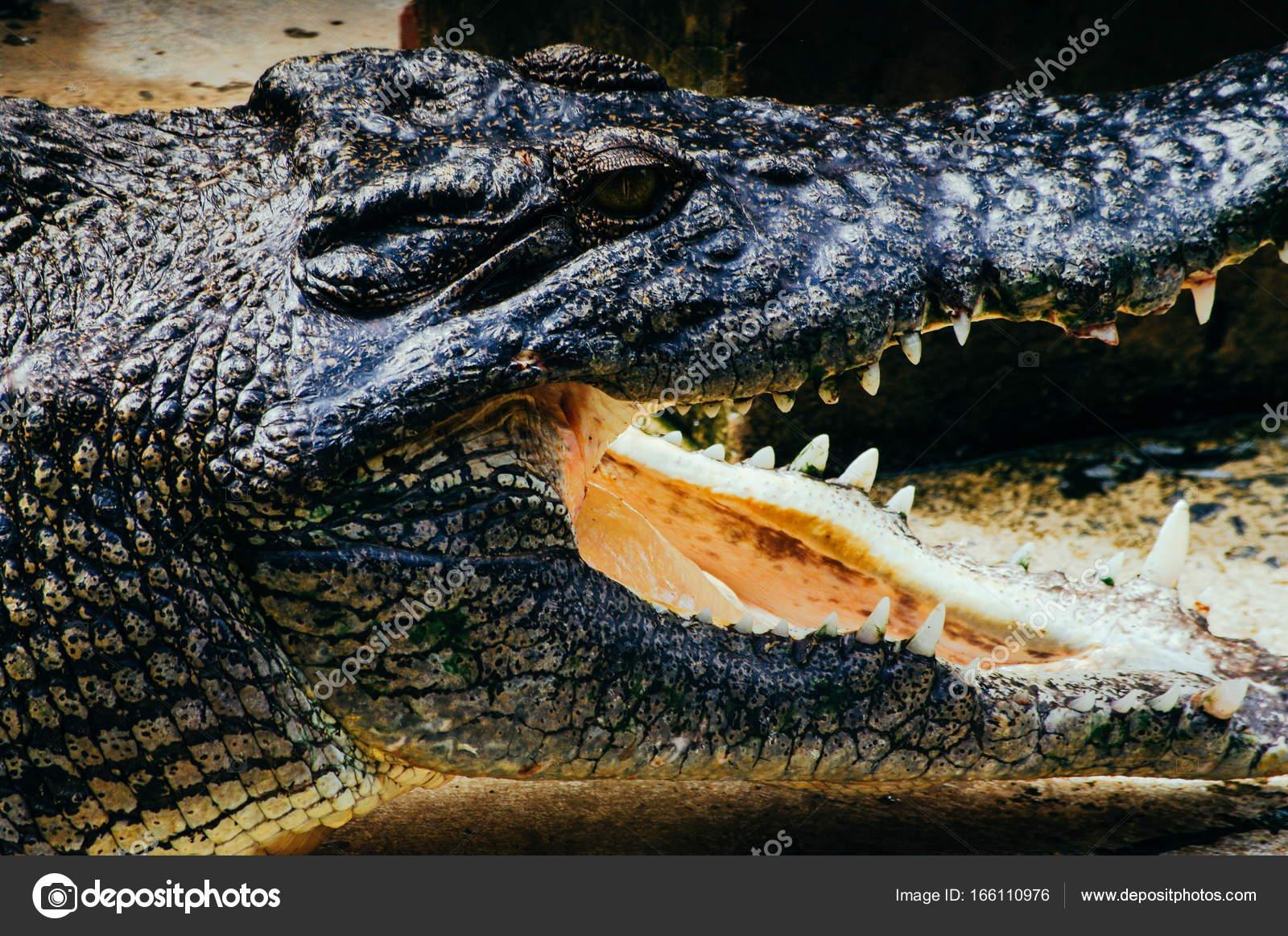 782ead4c3d5b Nile crocodile Crocodylus niloticus
