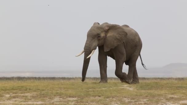 Slonice přes prašné pláně v národním parku Amboseli.