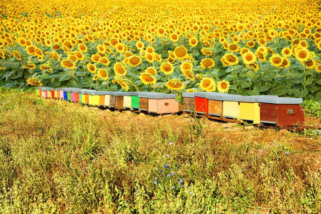 интернат картинки пасека пчелы в поле подсолнухов музей бостона один