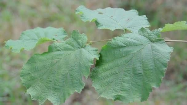 listy lískových ořechů