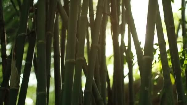 v. a lens flare hatás és a nap fénysugarak bambusz fák