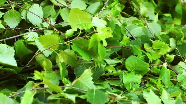 Beautiful green birch leaves