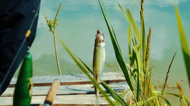 Édesvízi halak egy horog lóg kifogott halászati