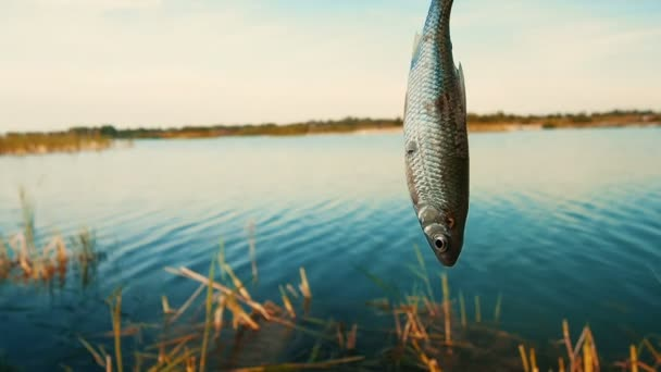 Sladkovodní ryby na rybářský háček zachytil během rybolovu.