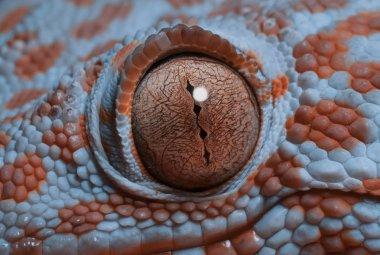 Gecko eye in macro