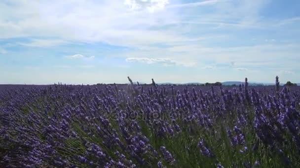 Levandulová pole květiny houpat ve větru