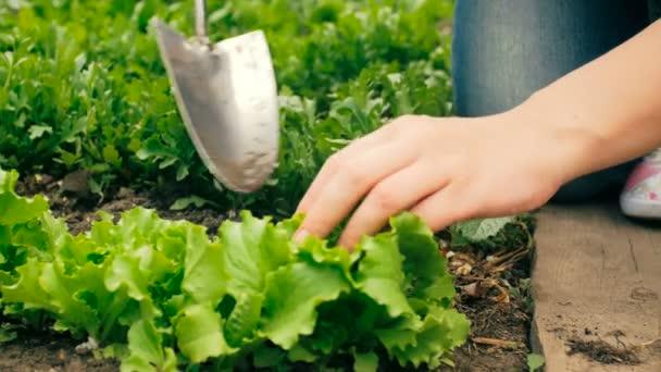 Nahaufnahme 4k Video einer jungen Frau, die im Garten arbeitet und sich um frischen grünen Salat kümmert
