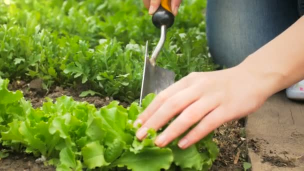 Closeup footage of hands removing weeds from soil at backyard garden