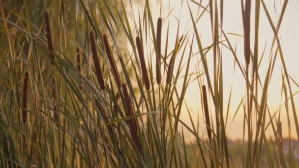 Západ slunce paprsky svítí skrz rákosí na jezeře