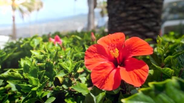4k videó gyönyörű piros hibiszkusz virág lengett faágon a napos szeles napon