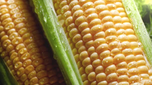 Closeup 4k video of sweet corn ears under rain. Water droplets falling and rolling over ripe raw corn cobs. Concept of healthy nutrition and organic food. Perfect background for vegetarian or vegan