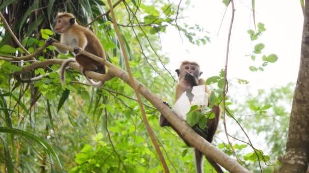 4k video divoké opice jíst lidské jídlo, které ukradla turistům v džungli lesa