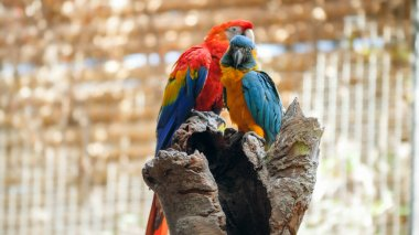 Two beautiful macaw parrots sitting on the tree top in zoo cage. stock vector