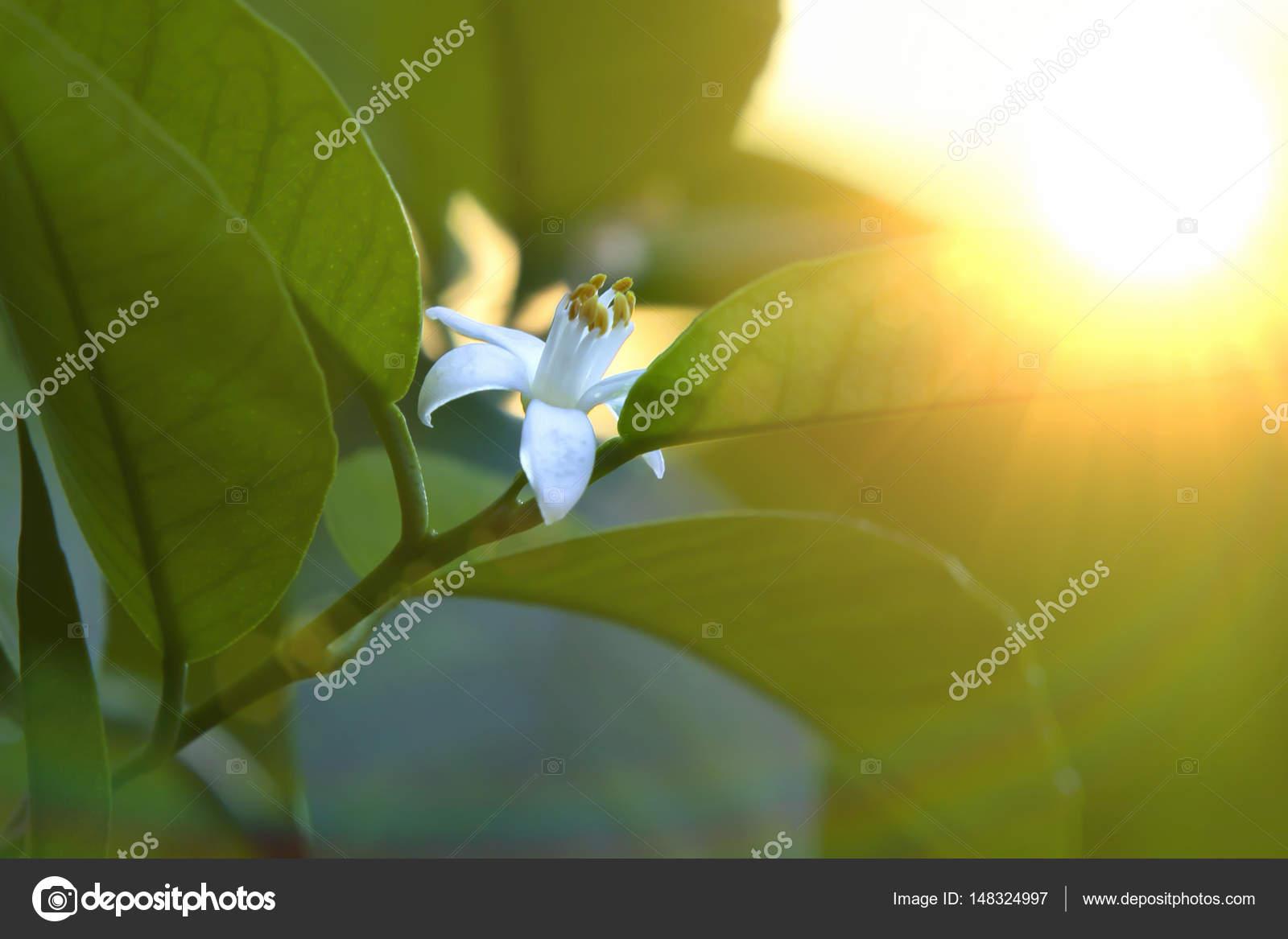 flor de limón sobre una rama — Foto de stock © shelokow #148324997