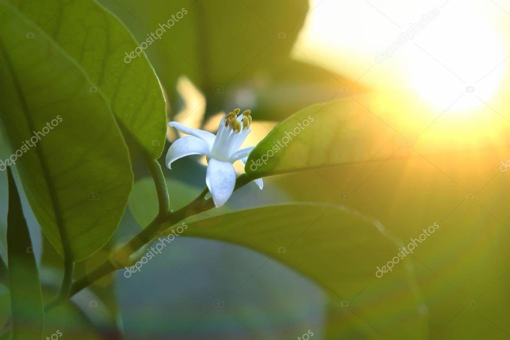 flower of lemon on a branch