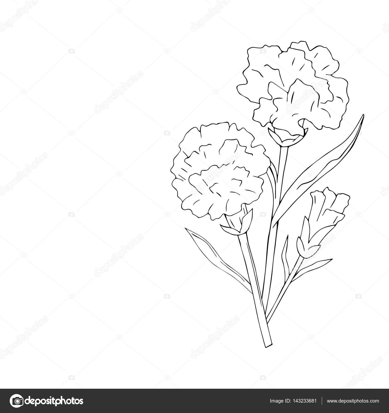 Aislar El Clavel De Vacaciones Flores Sobre Fondo Blanco