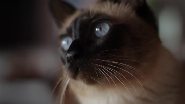 Beautiful Blue-Eyed Cat