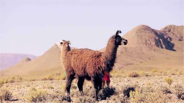 Llamas in the Puna Argentina