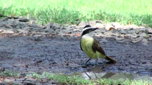 Bird drinking water (Pitangus sulphuratus, Great kiskadee)