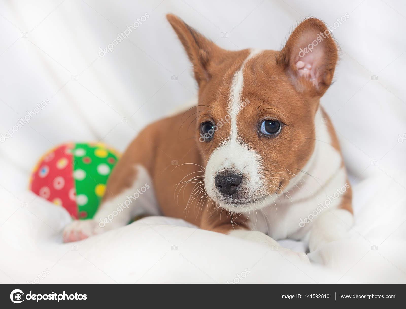 Beautiful Cute Puppy Dogs Not Barking African Dog Breed Basenji