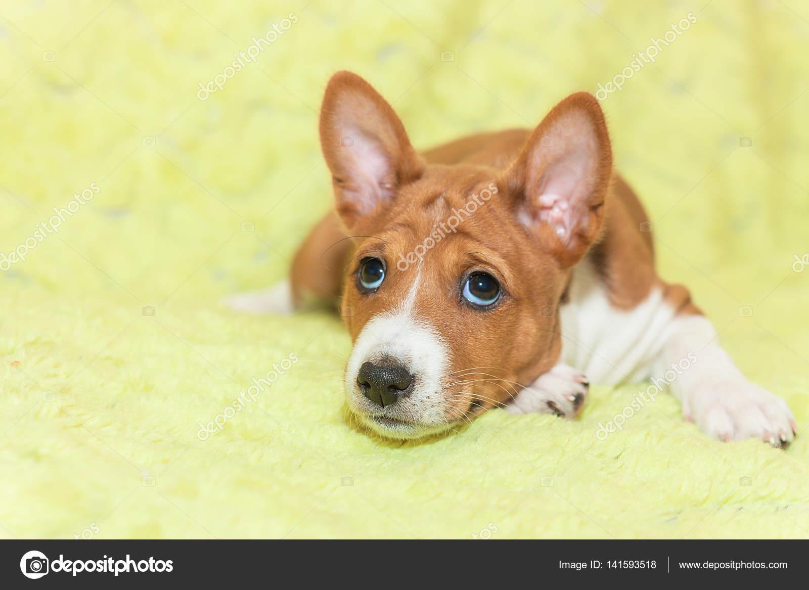 Attraktiv Schöne Hunderassen Beste Wahl Schöne, Niedliche Welpen Hunde Nicht Bellen Afrikanischen