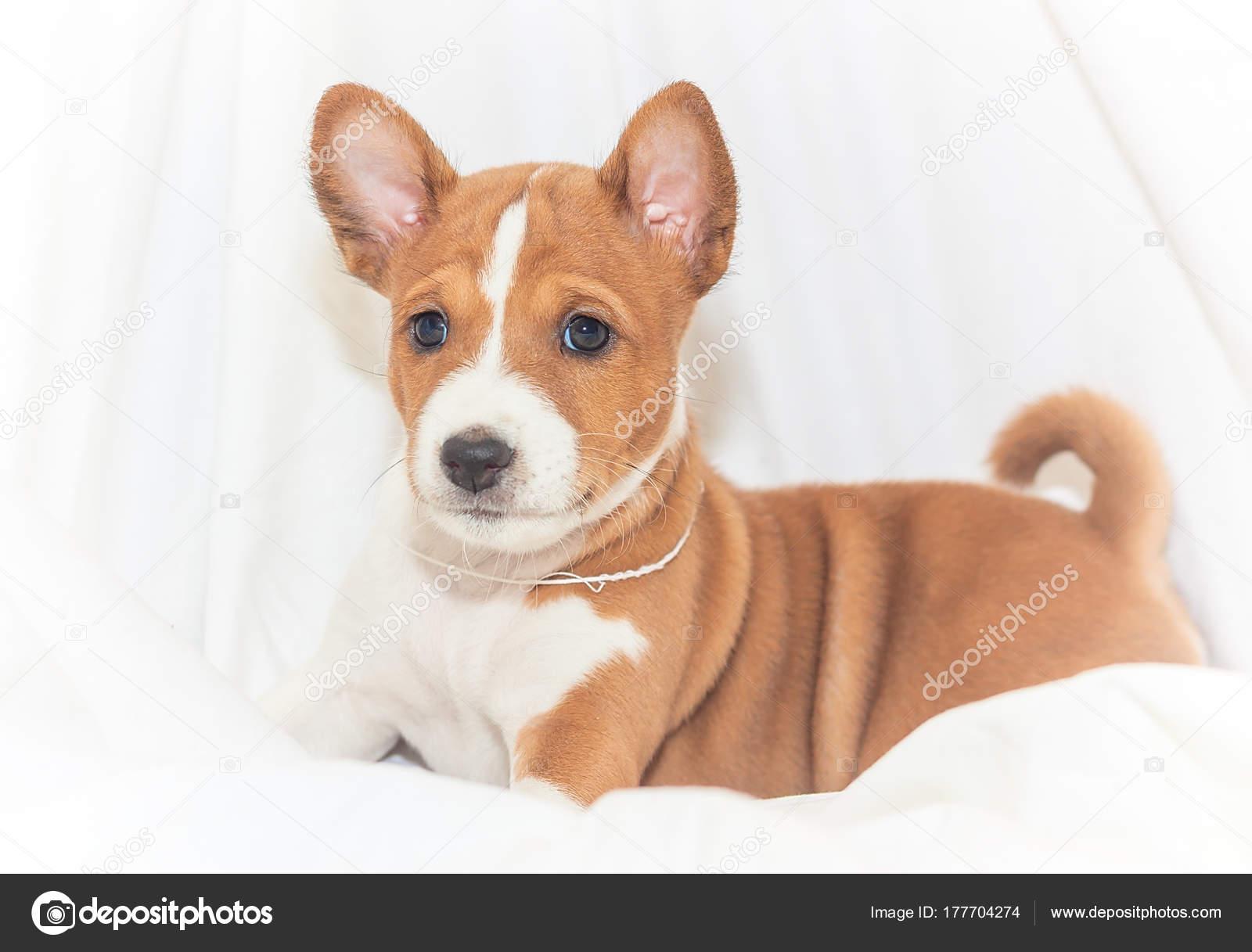Beautiful Cute Puppy Dogs Not Barking Dog Breed Basenji Stock
