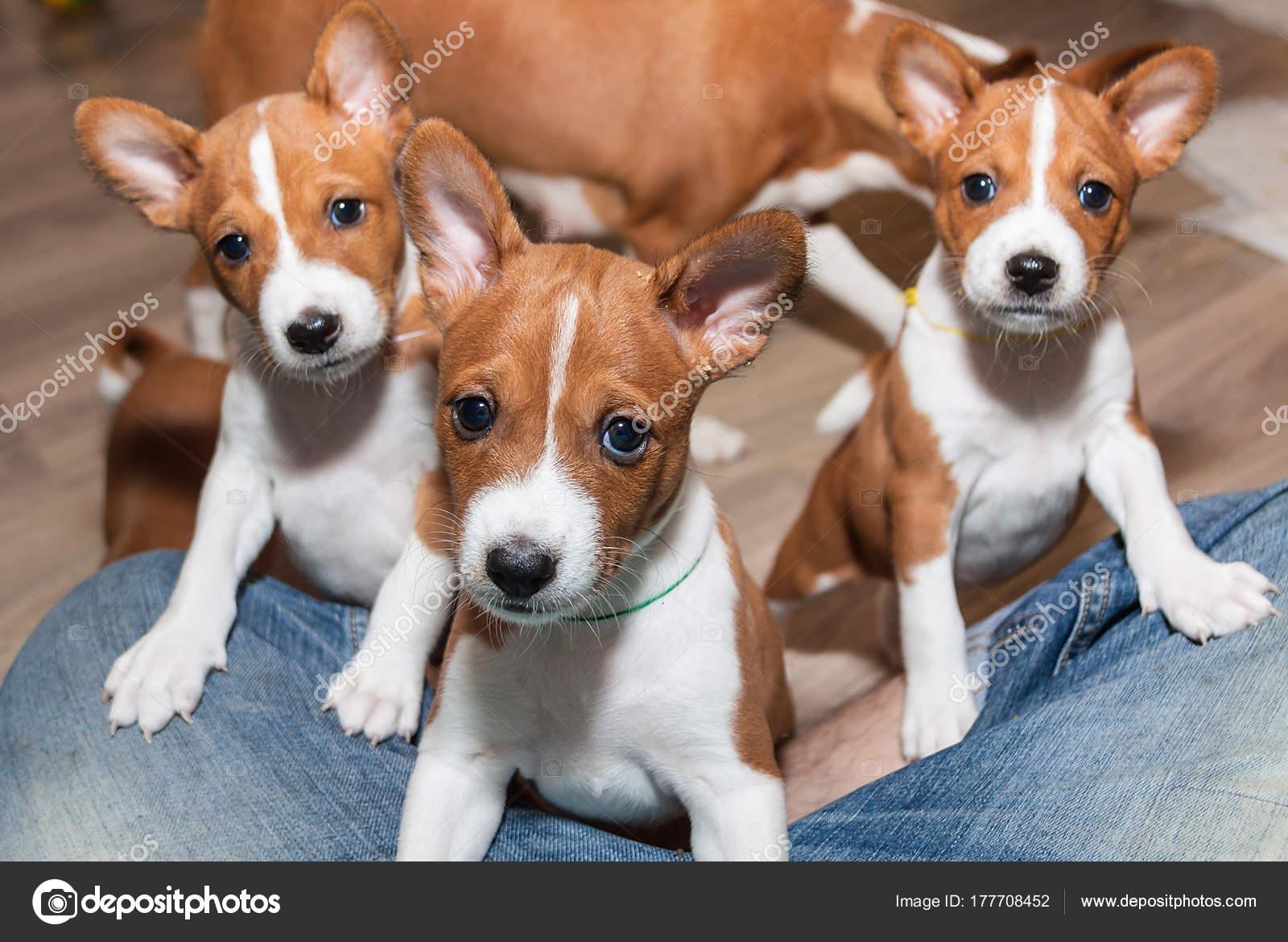 Beautiful Cute Puppy Dogs Not Barking Dog Breed Basenji Stockfoto