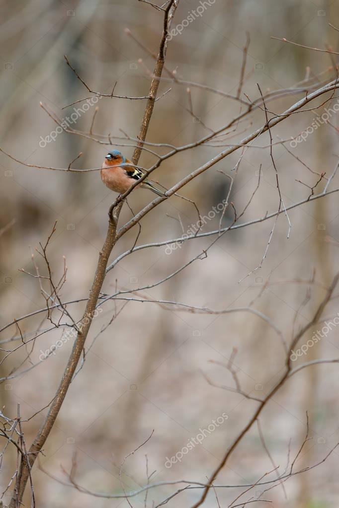 Fluffy forest bird (robin redbreast) watching sitting on bush branch in April. European robin (Erithacus rubecula). Muscicapidae