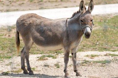 Small donkey on a country safari farm