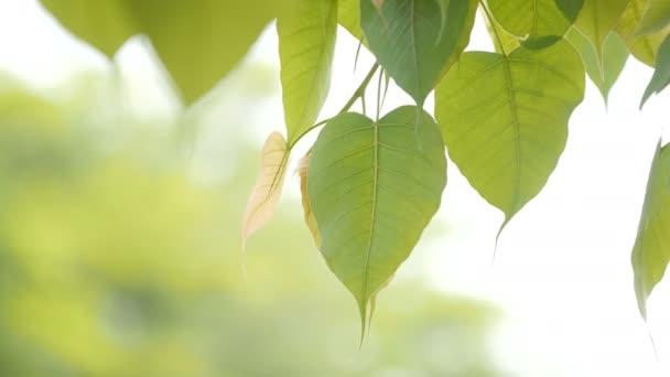 foglie dellalbero si muovono lentamente con il vento. La foglia di Bod Ciao e il sole alla luce del giorno