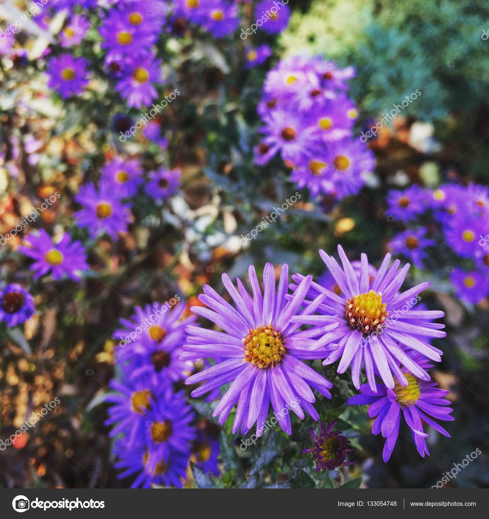 Сиреневые цветы похожие на ромашки
