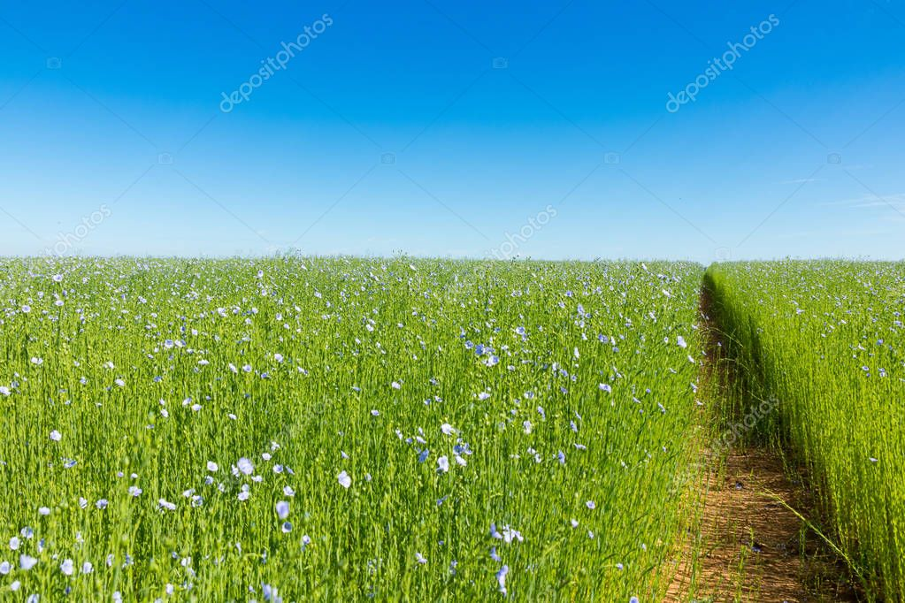 Large field of flax in bloom
