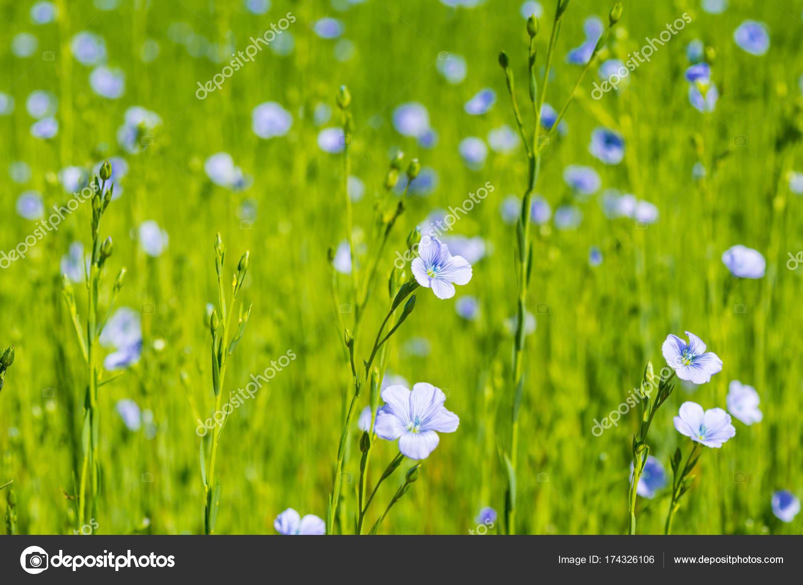 bright green field flax blooming spring blue flowers flax closeup