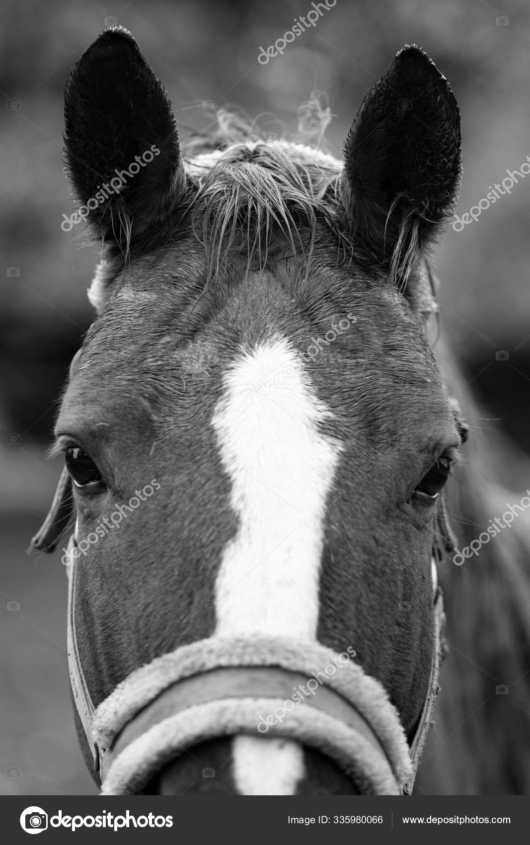 ᐈ Horse Pic Black And White Stock Pictures Royalty Free Black Stallion Images Download On Depositphotos