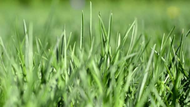 Grünes saftiges Gras an einem sonnigen Frühling-, Sommertag. Schöne Naturszene mit Sonnenaufgang
