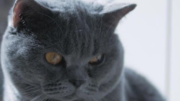Brit macska nagy szemekkel, makró. Aludni próbálok. Boldog macska.