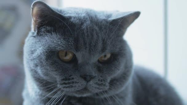Brit macska -val nagy szem clouse-up, makró, Pihenés és nézi a kamera egy óvatos megjelenés.