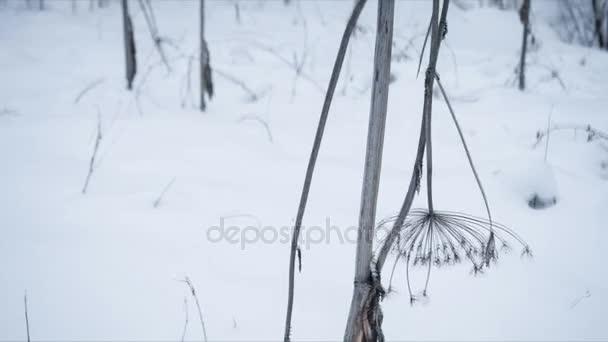 Winter calm landscape, dry plant