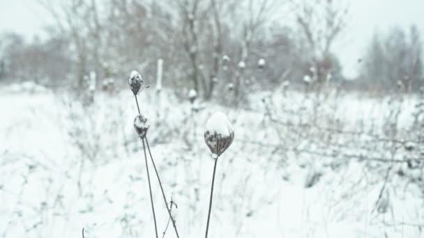 Zimní krajina v detailech. Sněhem pokrytá byliny houpat ve větru. Zaostření přechod.