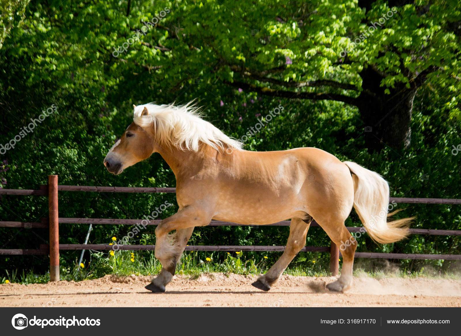 Beautiful Big Palomino Draft Horse Galloping Free Stock Photo C Virgonira 316917170