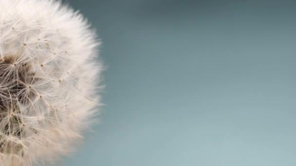 Schöner Löwenzahn auf grauem Hintergrund, Nahaufnahme