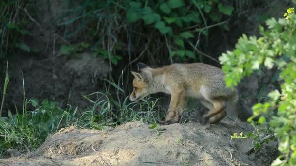 mladí red fox
