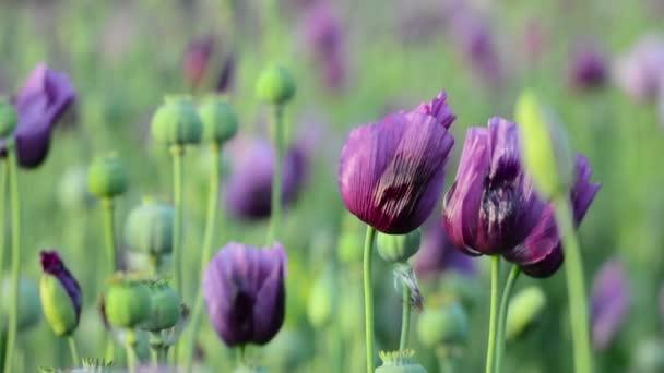 Közelkép az ópium-mák (Papaver somniferum) virág a területen