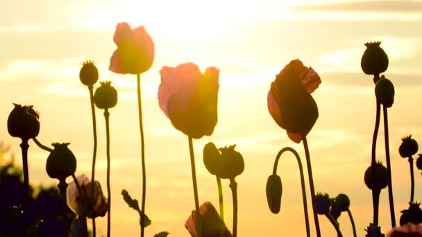 A mezőt a naplementét a mák (Papaver somniferum) virág részlete
