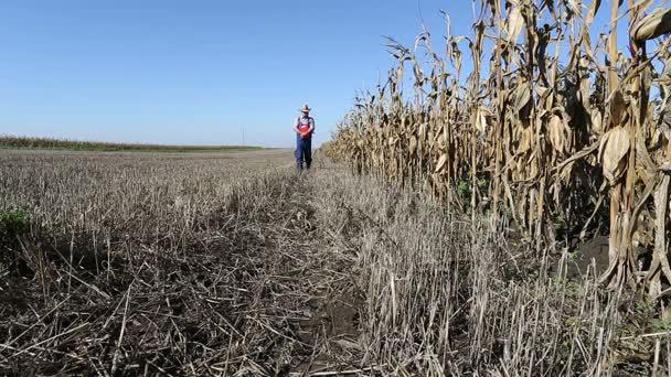 Agronom, kontrola kukuřičných rostlin farma sklizeň kukuřičného pole
