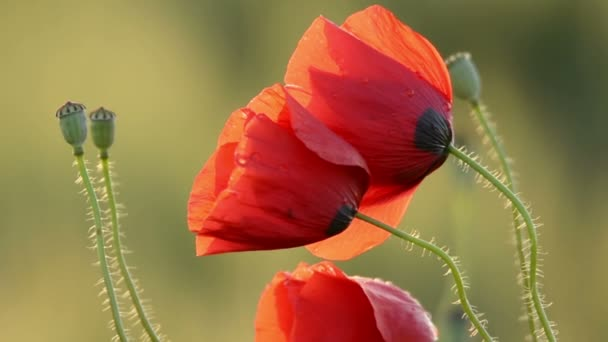 Red Poppies on Agriculture Field in Farmland