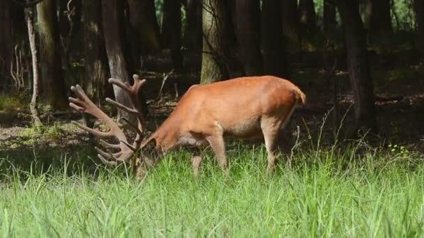 Grazing Red Deer (cervus elaphus)